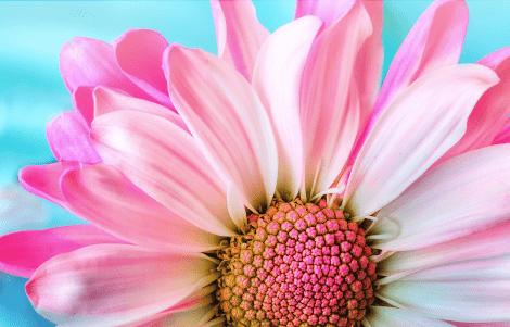 Magnifique fleur rose des artisans fleuristes Sessile