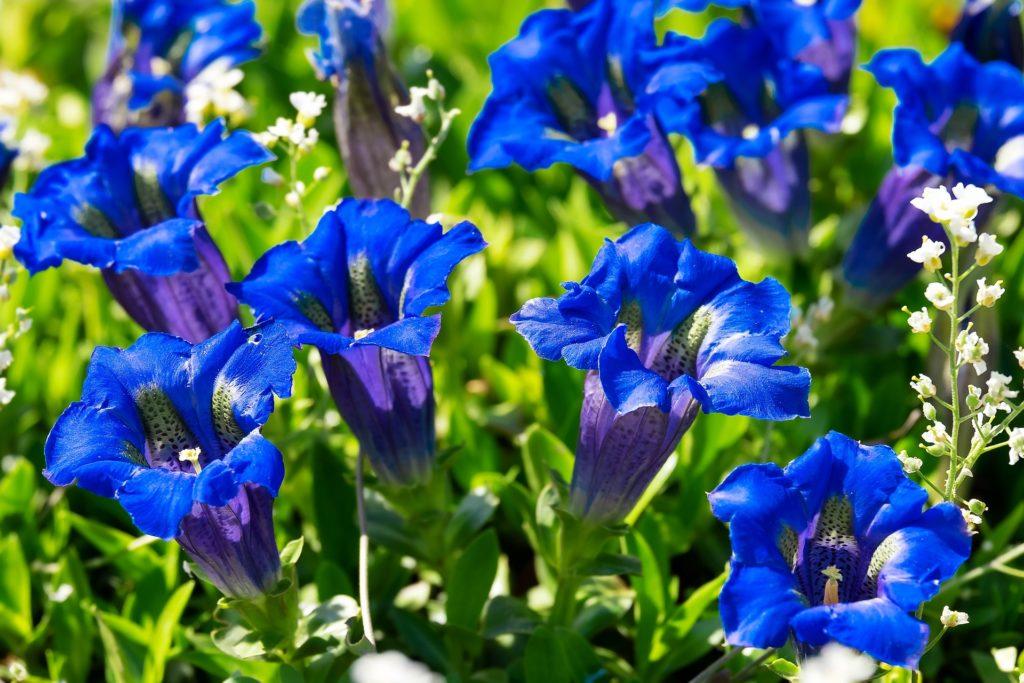Magnifique fleur bleue des artisans fleuristes Sessile