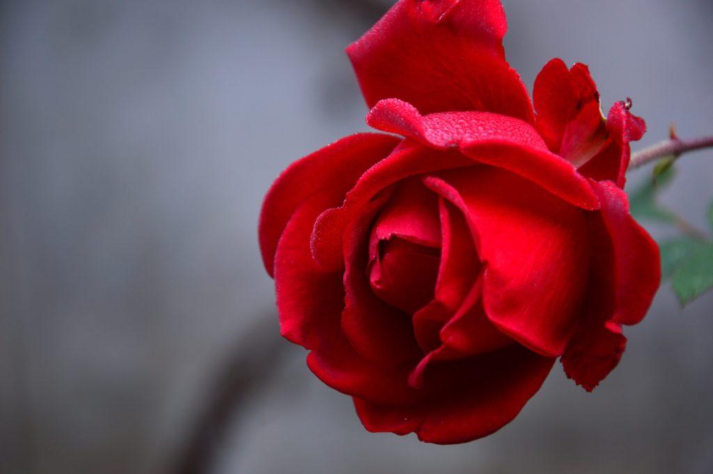 Magnifique fleur rouge des artisans fleuristes Sessile