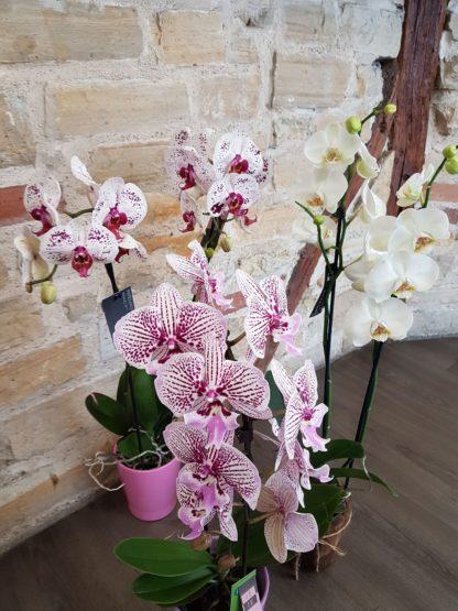 Orchidée de type phalaenopsis dans les tons blanc rose ou teintes plus soutenue avec son cache pot
