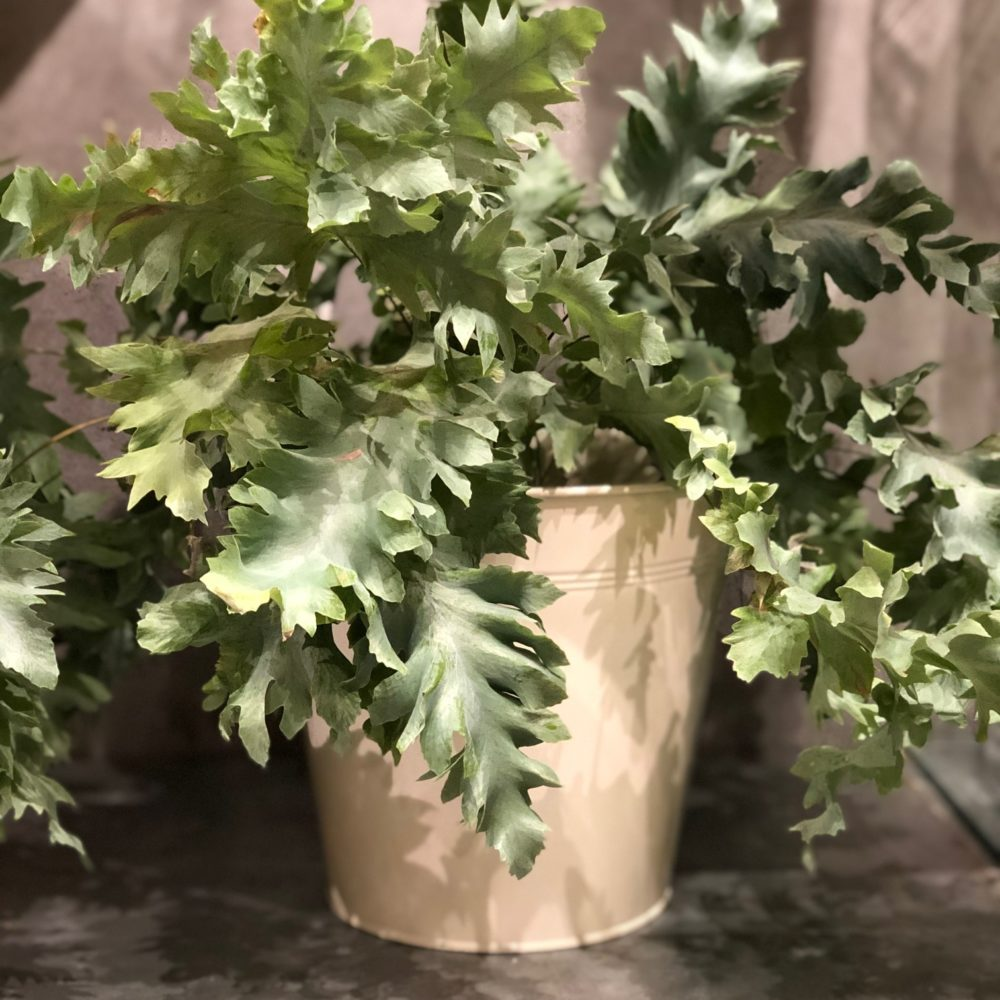 Plante Verte Pour Intérieur