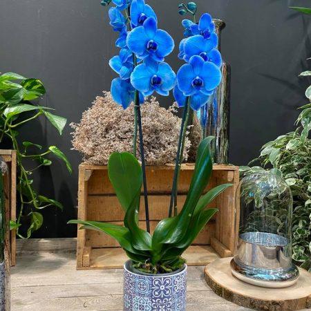 votre artisan fleuriste vous propose le bouquet : Orchidée Bleu