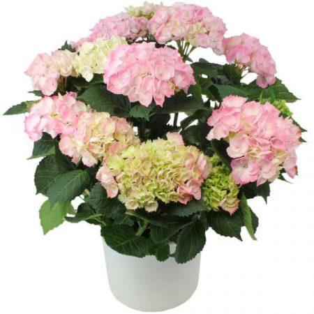 votre artisan fleuriste vous propose le bouquet : Hortensia Rose
