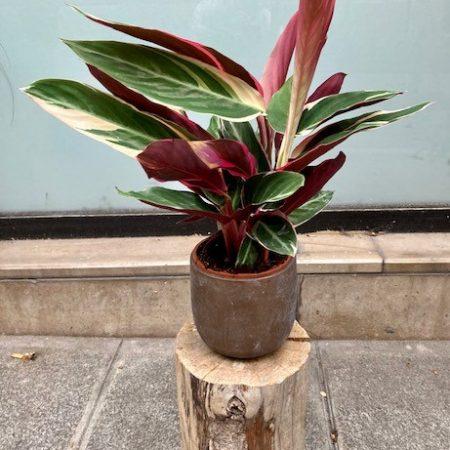 votre artisan fleuriste vous propose le bouquet : Calathea Triostar