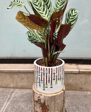 votre artisan fleuriste vous propose le bouquet : Calathea Zebrina