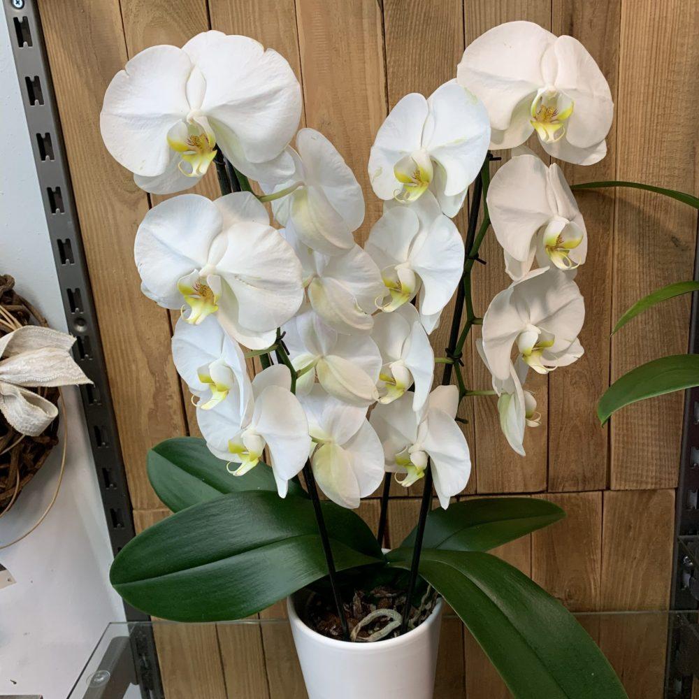 Orchidée cascade en pot