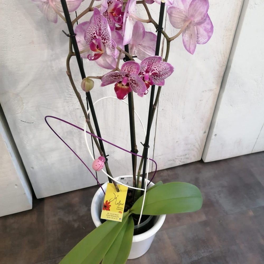 Orchidée Phalaenopsis 2 Tiges
