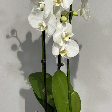 votre artisan fleuriste vous propose le bouquet : Orchidée Blanche Et Son Cache Pot