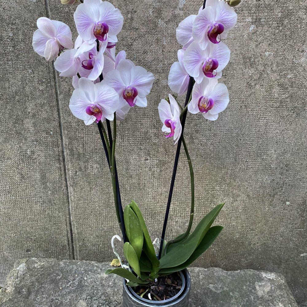 Orchidée Rose Avec Son Cache Pot
