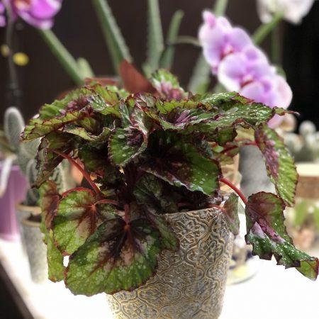 votre artisan fleuriste vous propose le bouquet : Bégonia Beleaf
