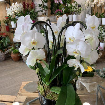 votre artisan fleuriste vous propose le bouquet : Coupe De 3 Orchidées