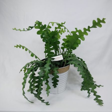 votre artisan fleuriste vous propose le bouquet : Epiphyllum Anguliger