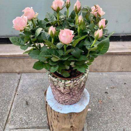 votre artisan fleuriste vous propose le bouquet : Rosier rose