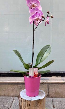 votre artisan fleuriste vous propose le bouquet : Orchidée tigrēe fuchsia