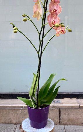 votre artisan fleuriste vous propose le bouquet : Orchidée tigrée orange