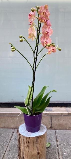 Orchidée tigrée orange