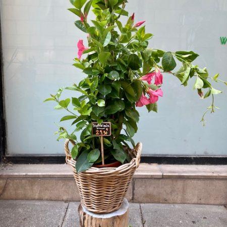 votre artisan fleuriste vous propose le bouquet : Diplodenia