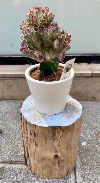 Cactus greffė
