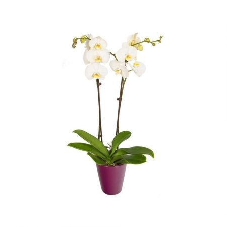 votre artisan fleuriste vous propose le bouquet : Orchidée + cache pot