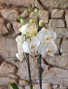 votre artisan fleuriste vous propose le bouquet : Orchidée Phalaénopsis avec cache pot