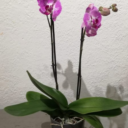 votre artisan fleuriste vous propose le bouquet : Phalaenopsis