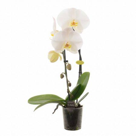 votre artisan fleuriste vous propose le bouquet : Phalaenopsis Cascade