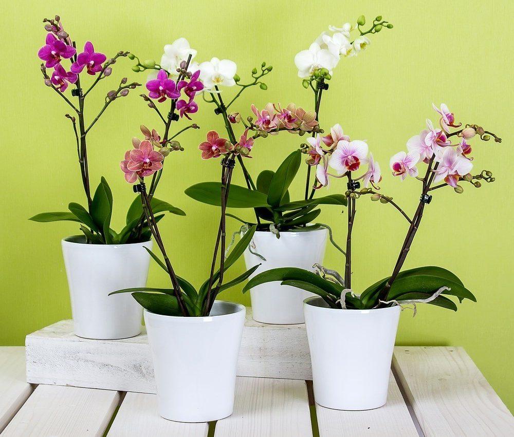 Phalaenopsis 2 tiges