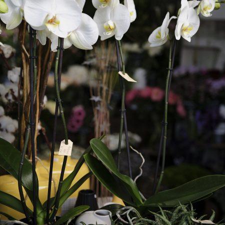 votre artisan fleuriste vous propose le bouquet : Phalaenopsis avec son cache pot