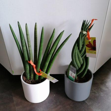 votre artisan fleuriste vous propose le bouquet : Sanseverria