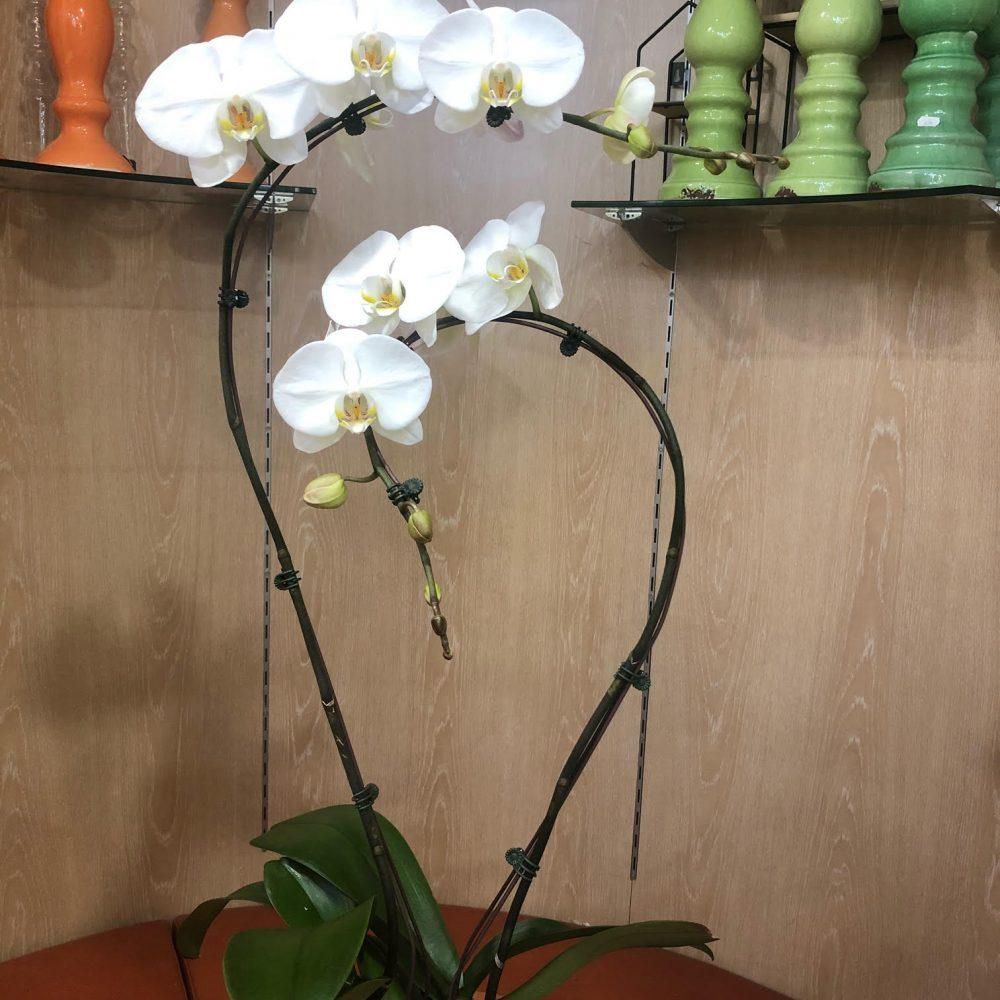 Orchidée Prestige