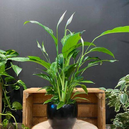 votre artisan fleuriste vous propose le bouquet : Spathiphyllum