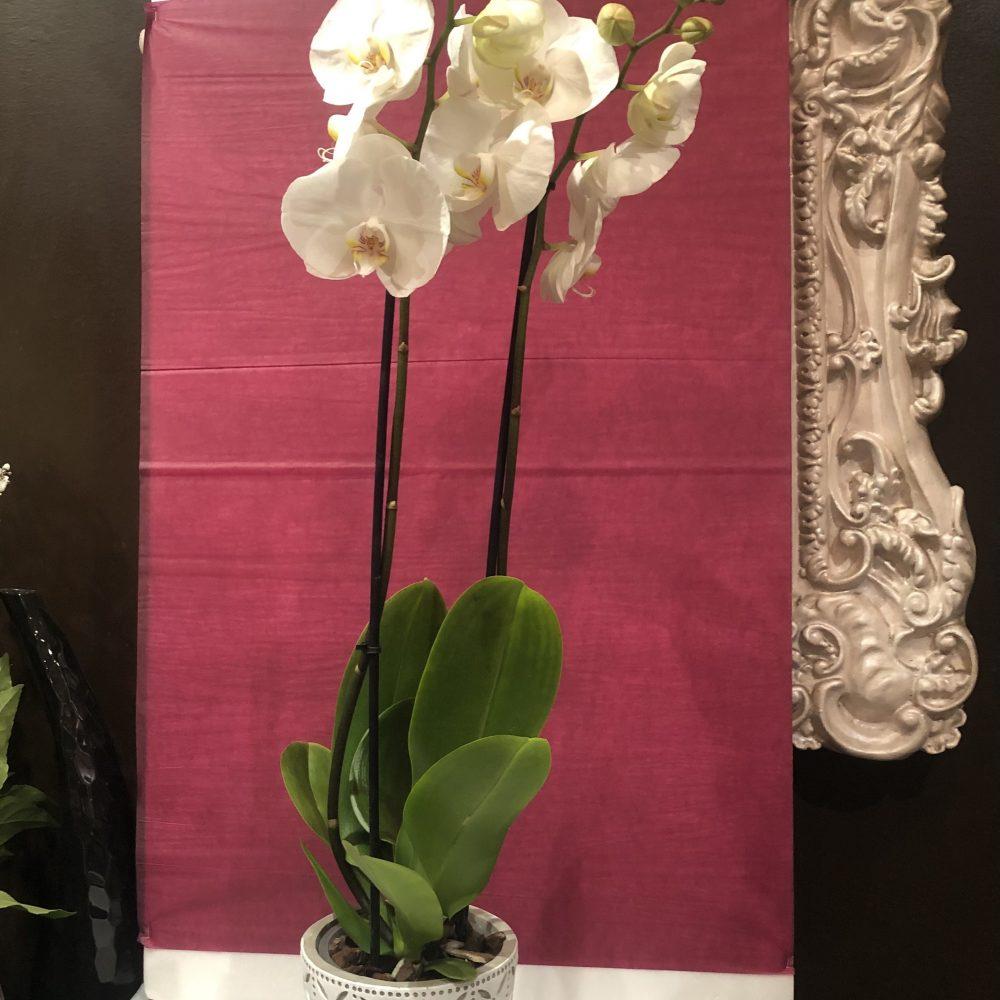 Orchidée Phalaenopsis Grand Modèle