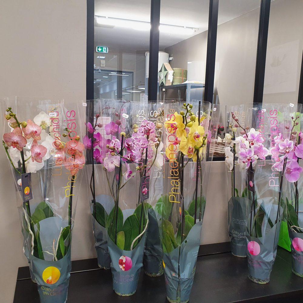 Orchidée Phalenopsis