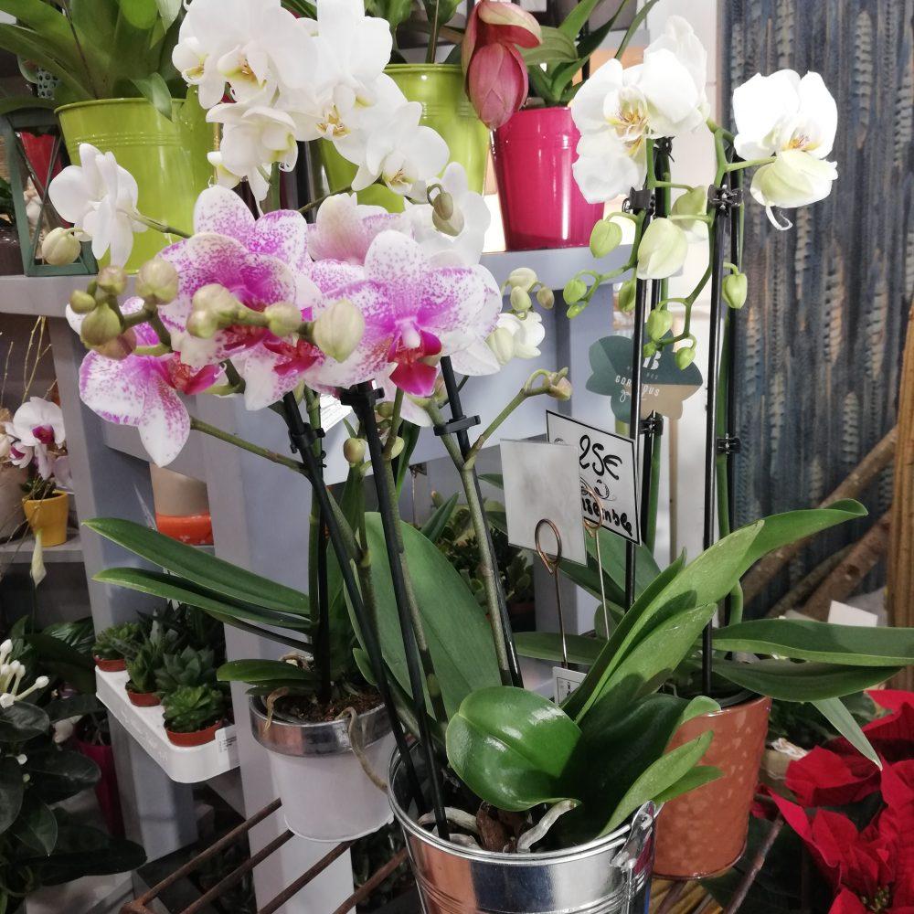 Orchidées (Phalaenopsis)