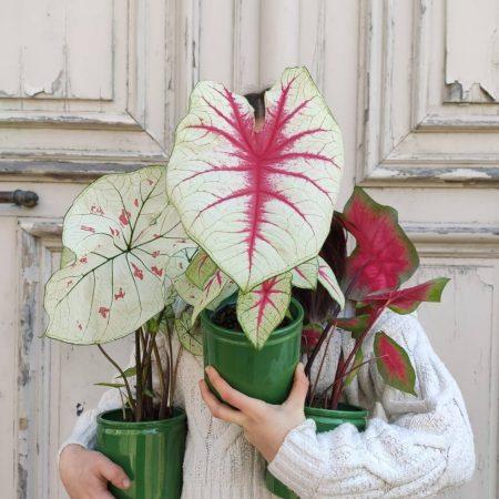 votre artisan fleuriste vous propose le bouquet : Caladium