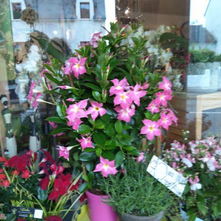 votre artisan fleuriste vous propose le bouquet : Dipladenia en hauteur