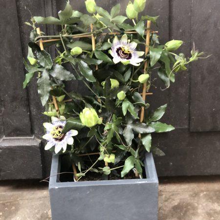 votre artisan fleuriste vous propose le bouquet : Passiflore