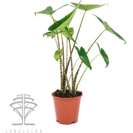 votre artisan fleuriste vous propose le bouquet : Alocasia Zebrina