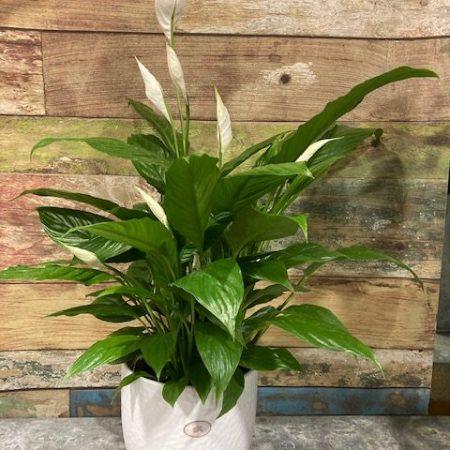 votre artisan fleuriste vous propose le bouquet : spatiphyllum en cache-pot