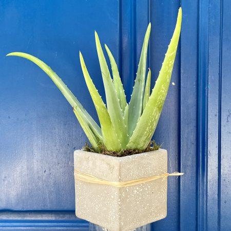 """votre artisan fleuriste vous propose le bouquet : Plante grasse """" Aloe Vera """""""